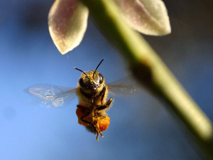 bee_by_PDPhotos_pixabax.com_CC0