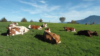 cows_by_werni_pixabay.com_CC0